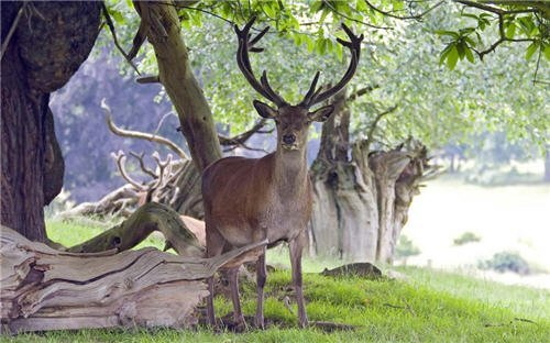 Wallpaper : Stag under the tree