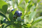 Blueberries in Annapolis Valley