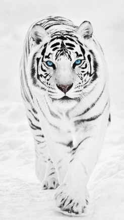 White Tiger - Retina HD Wallpapers for iPhone 6