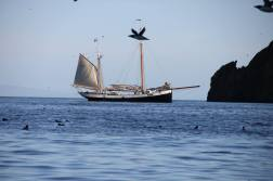 Tecla at anchor with auks all around