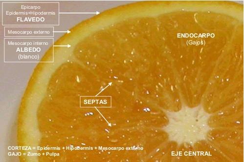 Partes de un fruto citrico, naranja, mandarina, limon, pomelo