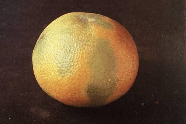 Daños de campo en citricos