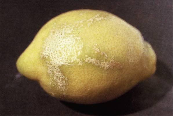 Daños por viento en citricos