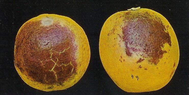 Exanthema en cítricos