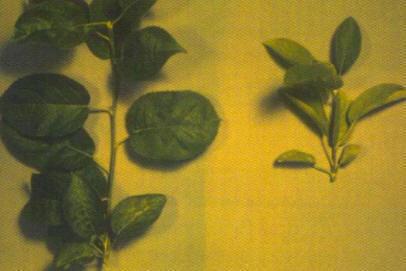 Carencia de Nitrogeno en Manzano