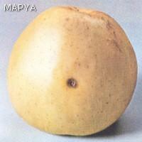 Manzana agusanada