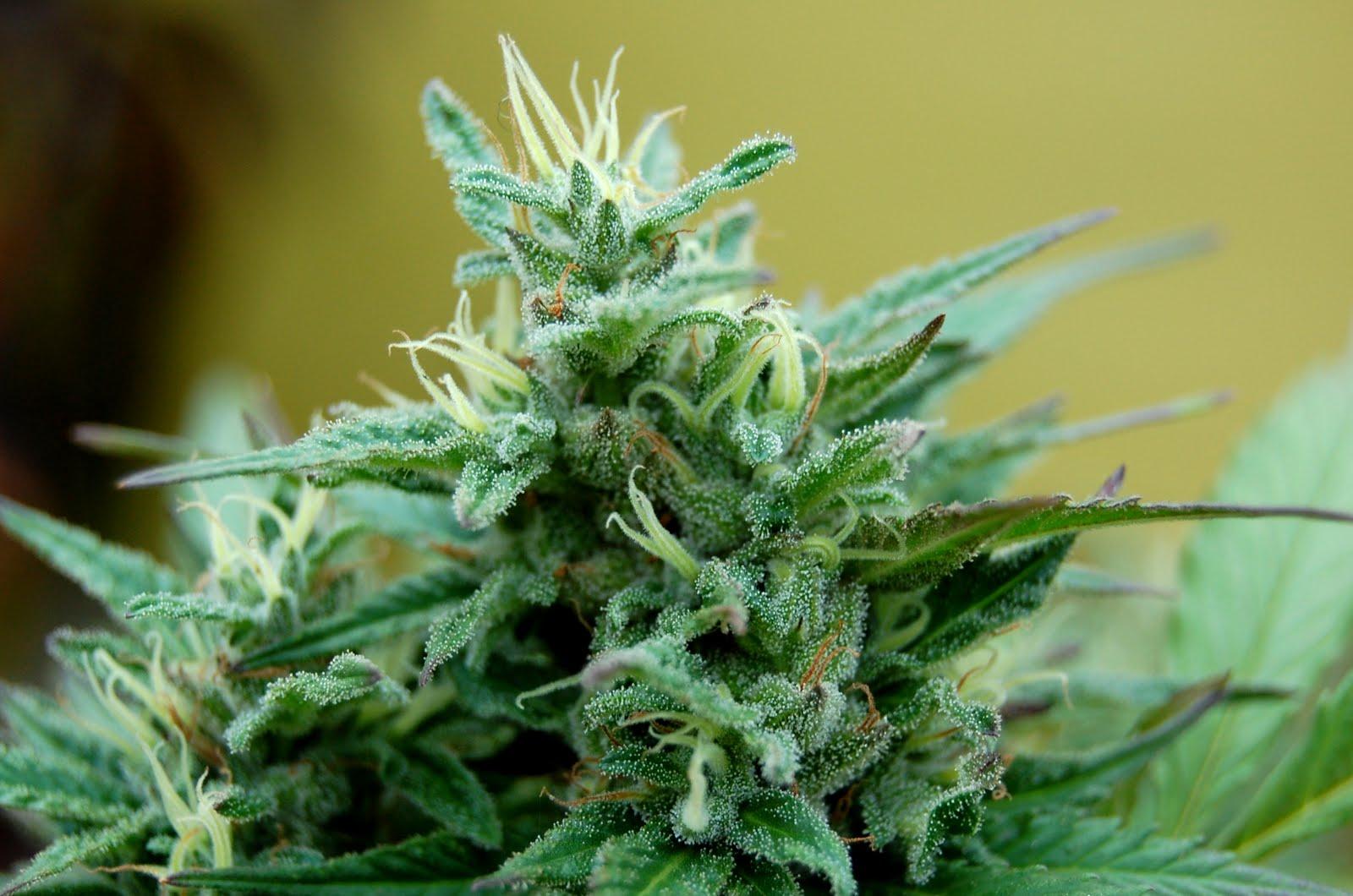 Resultado de imagen para marihuana monsanto