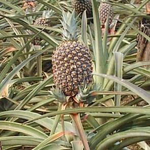 Partes de fruto - Piña