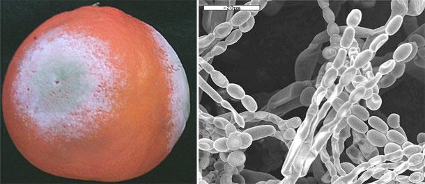 Penicillium italicum - digitatum citricos