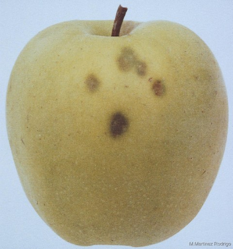 Bitter Pit en Manzana y Pera, fruta de pepita