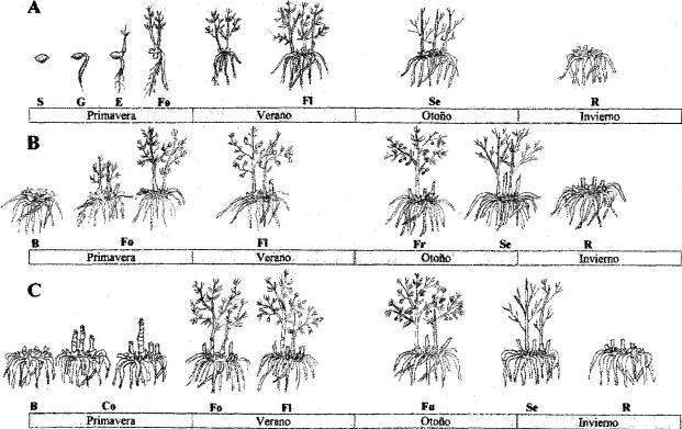 Ciclo de desarrollo y de crecimiento de la planta de espárrago