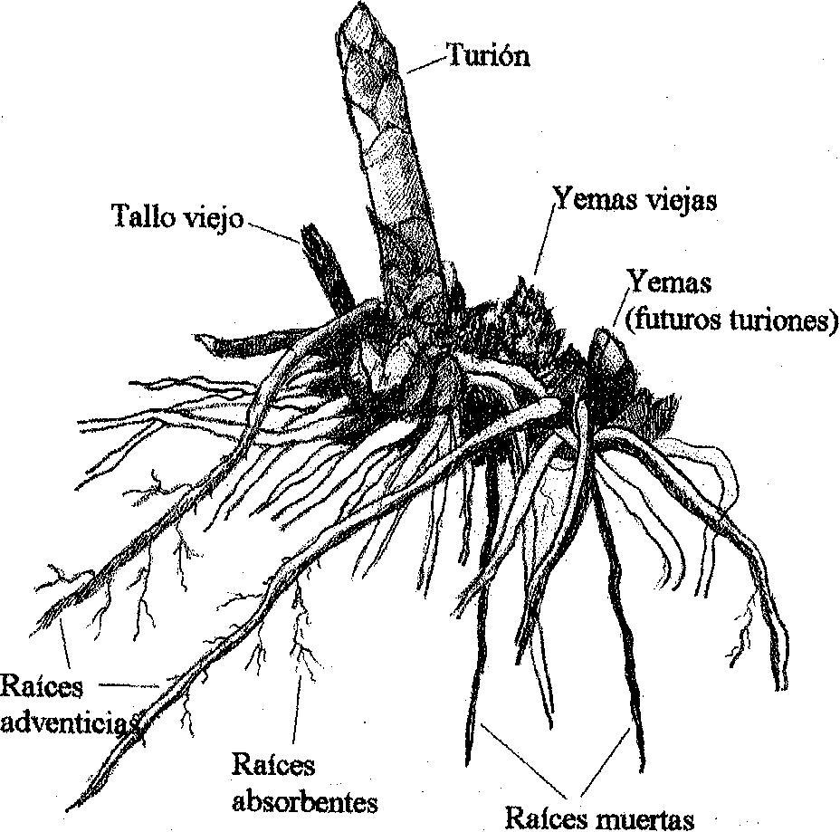 Las partes del esparrago
