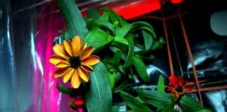 NASA: Zínia, a primeira flor que cresceu no espaço