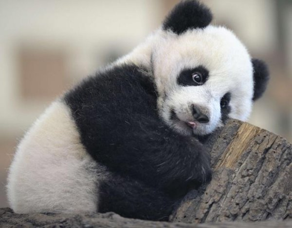 Pandamonium Anyone  Tips  Techniques  Teddy Talk