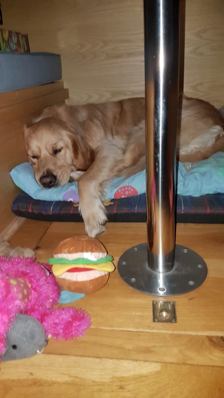 Teddy asleep on his bed under the table. He is lying on top of his foam mattress, with a duvet on top of it, with his front paw hanging off the edge. in the foreground is the desmo leg of the table and a small selection of Teddy's toys