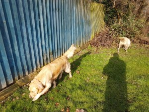 Teddy and Lilly (both golden retrievers) enjoying a good sniff about on some grass, with railings behind them