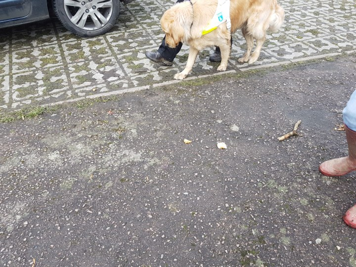 Grey tarmac carpark with discarded Subway takeaway lying on the ground. Teddy is on harness looking longingly at the potential snack, but having to resist on the 'Leave it' command
