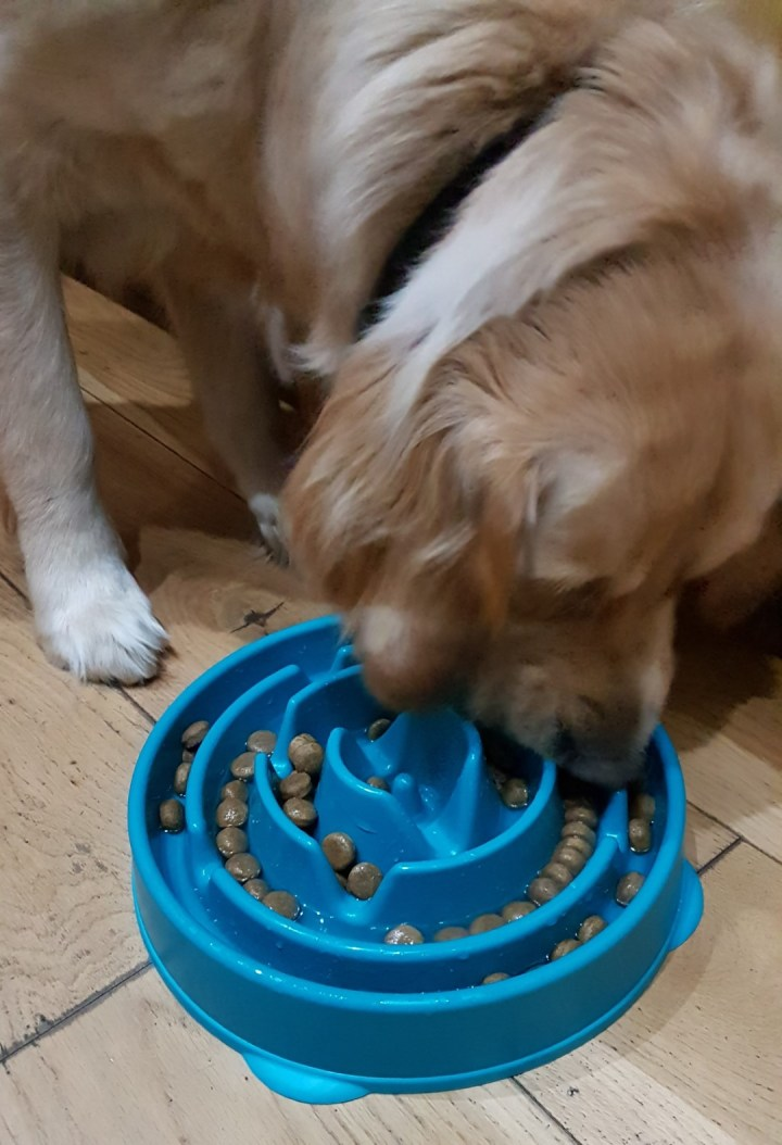 Teddy eating from his blue slow feeder bowl, which has a series of ridges inside forming a maze pattern with nuggets of kibble food in all the ridges