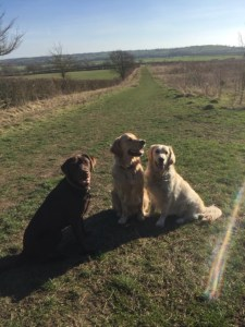 from left to right - Lionel (choc lab), Teddy and Lilly (Golden Retrievers) sitting with a vast expanse of open countryside behind