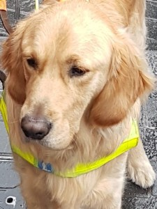 Teddy the Trainee Guide Dog. Close up head shot of Teddy, Golden Retriver, wearing his brown training harness with yellow hi-viz Guide Dogs chest band. Looking slightly to the left of the shot