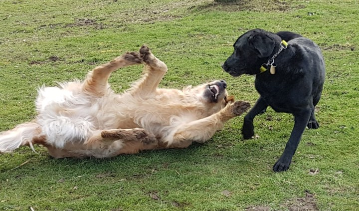 Teddy lying on his back, all 4 paws in the air, mouth open with Oakley standing above him with one front paw in the air