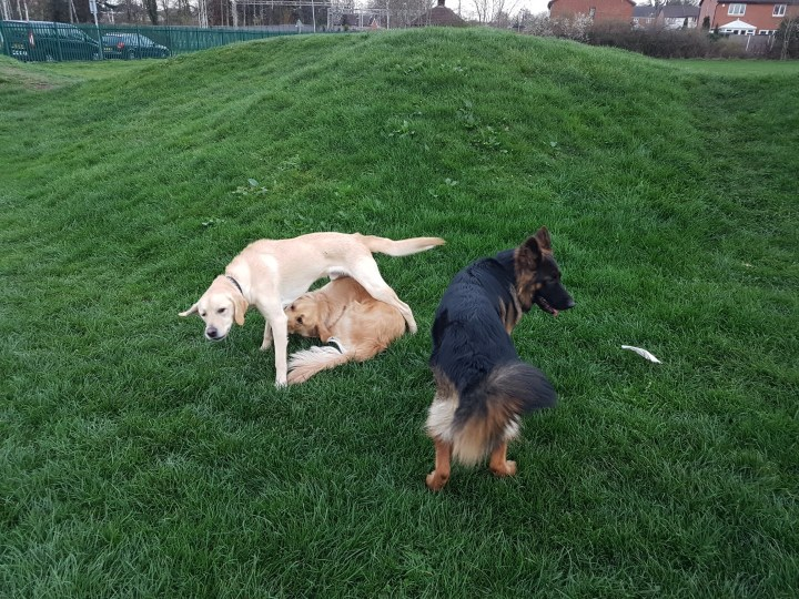 Teddy lying on his back on grass with Gizmo puppy standing over the top of him. A long haired GSD is beside them mid stride. They are all playing on a grassy hump in the park