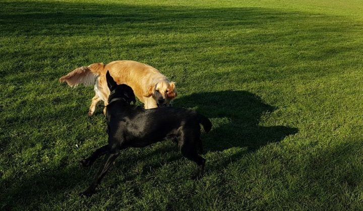 Teddy the Golden Retriever and Teddy the black Lab x retriever playing on a big expanse of grass