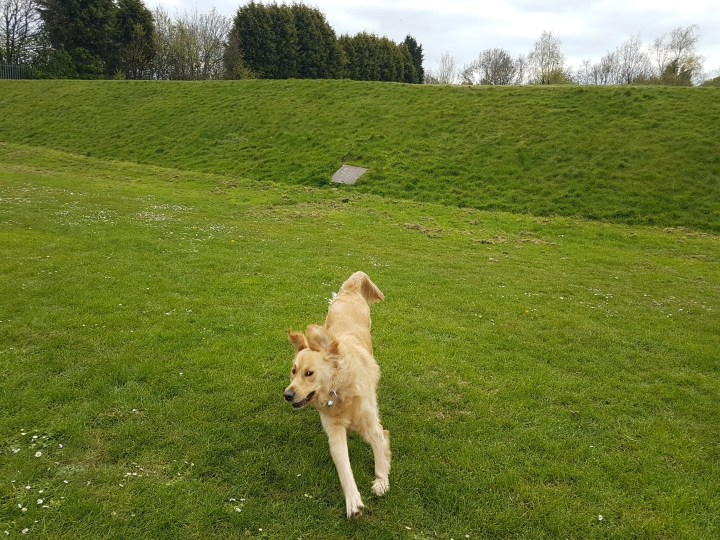 Teddy at full run toward the camera. Ears flapping and back end off the ground. Behind him is a steep grassy bank