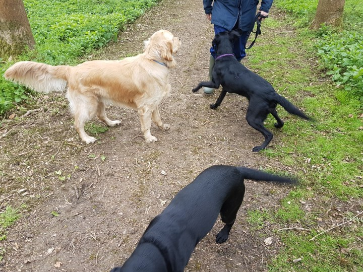 Teddy standing on a trampled earth path with two black labradors; passing pals on a freerun at Cherwell Valley Service Station