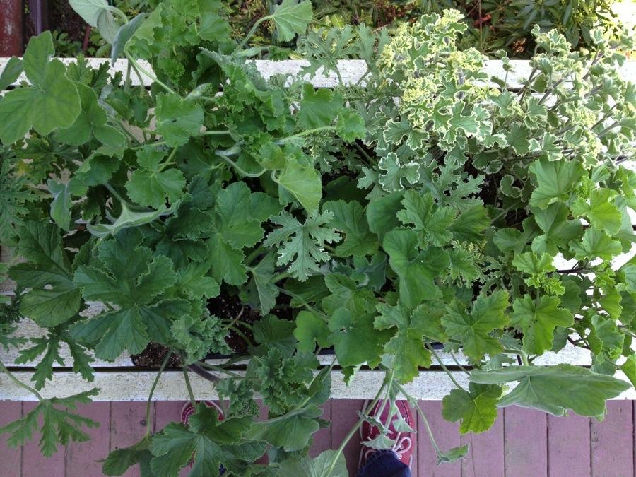 ab089cf7b Flats of Pelargonium aka Scented Geranium » Ted Kennedy Watson