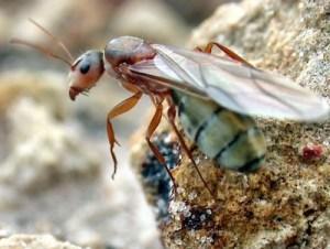 A carpenter ant swarmer. Source: Alex Wilde.