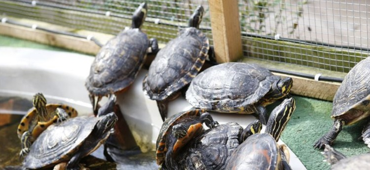 These turtles are looking much happier and healthier in the Turtle Sanctuary. Image Source: KentOnline.co.uk