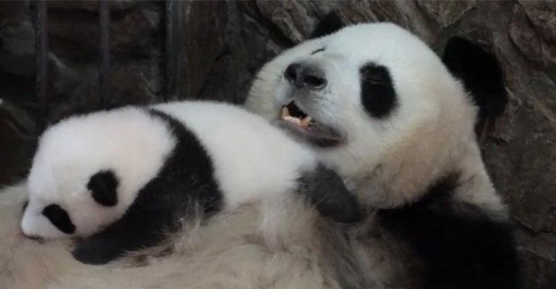 影/熊貓媽「抖肥肚」療癒畫面爆紅 寶寶「睡到翻掉」網被融化:最暖搖籃