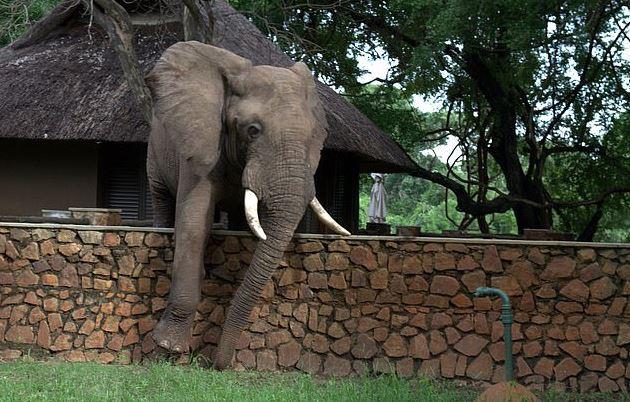 大象為了「偷吃芒果」偷爬牆 怕踩壞圍牆「細心量距離」過程全被錄!