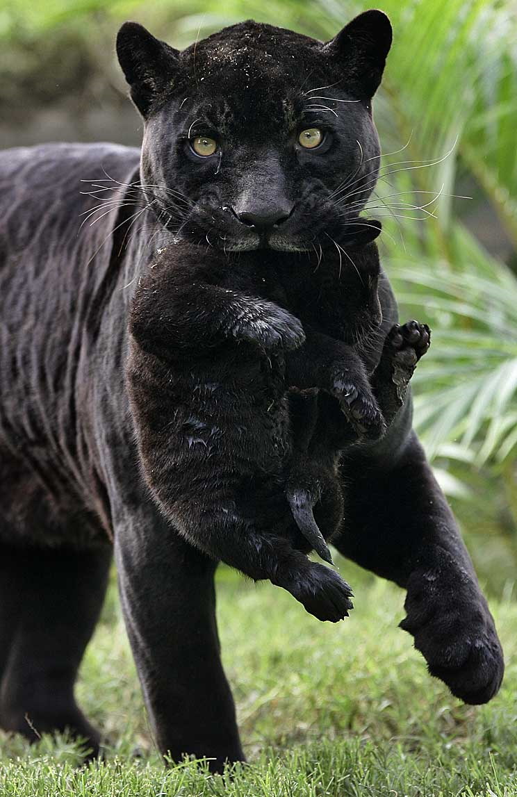 Black panther mom carrying her pup Furry friends