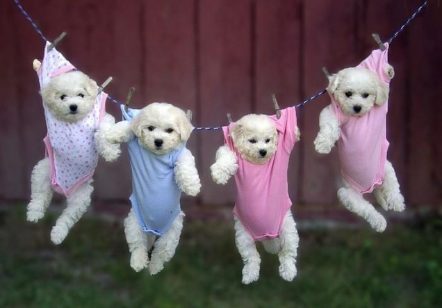 Puppies hanging in baby clothes  Teh Cute