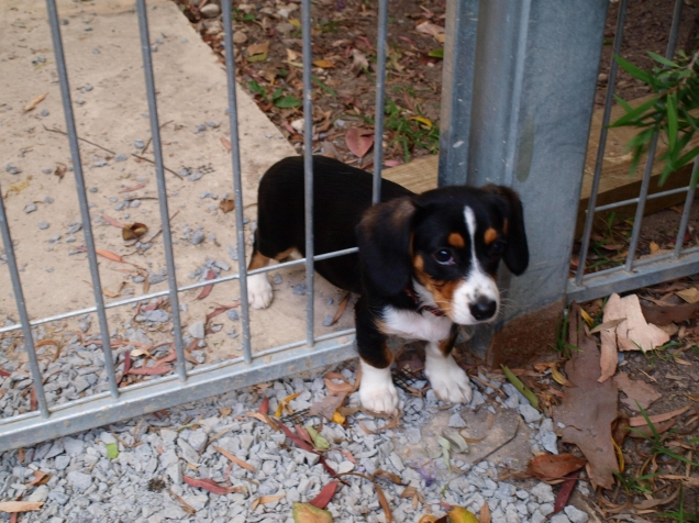 Puppy Stuck In The Fence Teh Cute