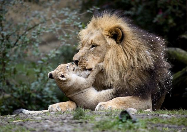 Cute Cheetah Wallpapers Lion Parenting Teh Cute