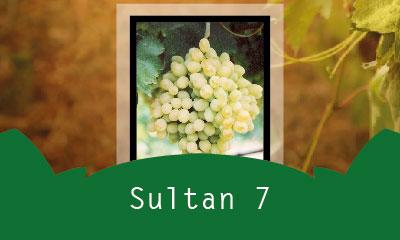 Sultan 7