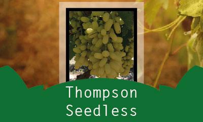 Thompson Seedless