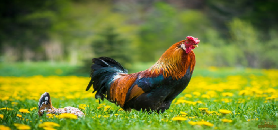 Non-Disruptive Growth: The Free-Range Chicken Analogy