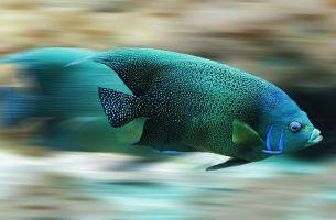 Balıkların Çok Sayıda Sperm Ve Yumurta Üretmesi