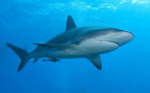 Yeni Bir Tür Köpek Balığı Keşfedildi