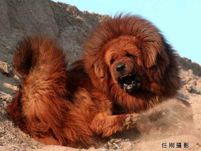 Red Tibetan Mastiff becomes world's most expensive dog!   Tektuff - Funny People. Best Places. Fun Stuff and Much More