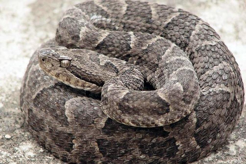 Las serpientes también aparecen en algunas regiones.