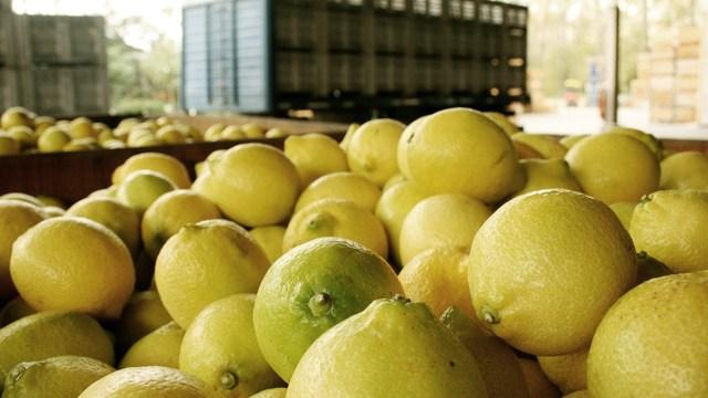 """Se había detectado en algunos limones casos de la enfermedad denominada """"mancha negra"""" (Phyllosticta Citricarpa)."""