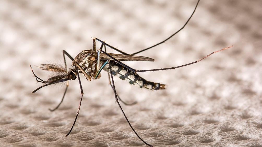 Este mosquito no tiene cómo proliferar en las zonas urbanas.