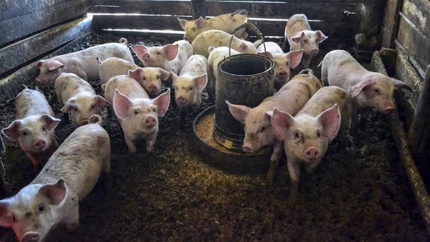 """""""Argentina, en el cerdo, está más orientada en la elaboración de chacinados, pero no para ser exportador de carne""""."""