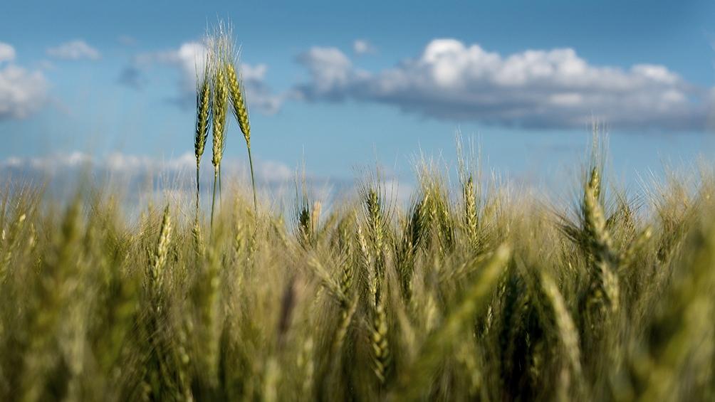 Según los especialistas, la falta de lluvias limitó las intenciones de siembra y recortó la superficie plantada.
