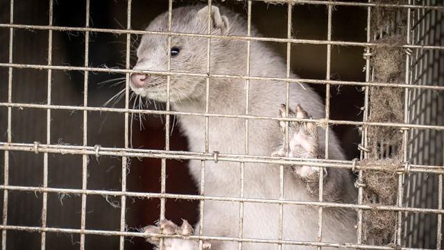 Los Ministerios de Agricultura, Salud y Transición Ecológica franceses precisaron que se trata de mil animales contagiados. de los mil
